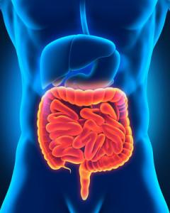 Der Darm ist das Zentrum des Immunsystems